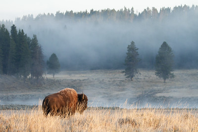 Bison in fall frost