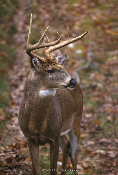 S.3064 - whitetail buck, Salato Game Farm, KY. Dept. of Fish and Game, Frankfort, KY.
