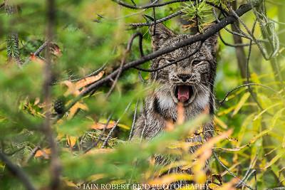 Lynx Yawn