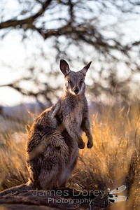 Black-footed Rock Wallaby (Petrogale lateralis)