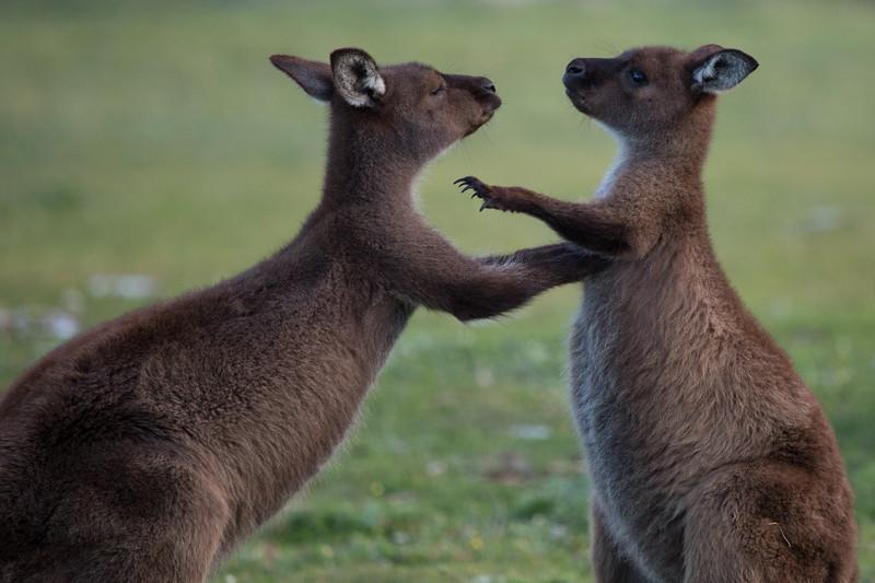 Young male Kangaroo Island kangaroos