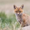 red_fox-48-8
