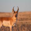 Pronghorn (i.e. American Antelope)
