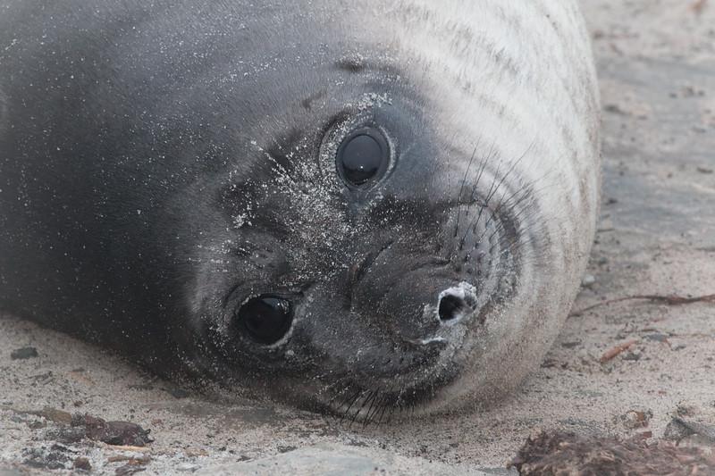 Southern elephant seal weaner, Sea Lion Island