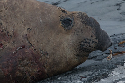 Battle-scarred young male southern elephant seal, Falklands