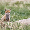 Red fox, Vulpes vulpes, kit near Fort MacLeod, Alberta, Canada.