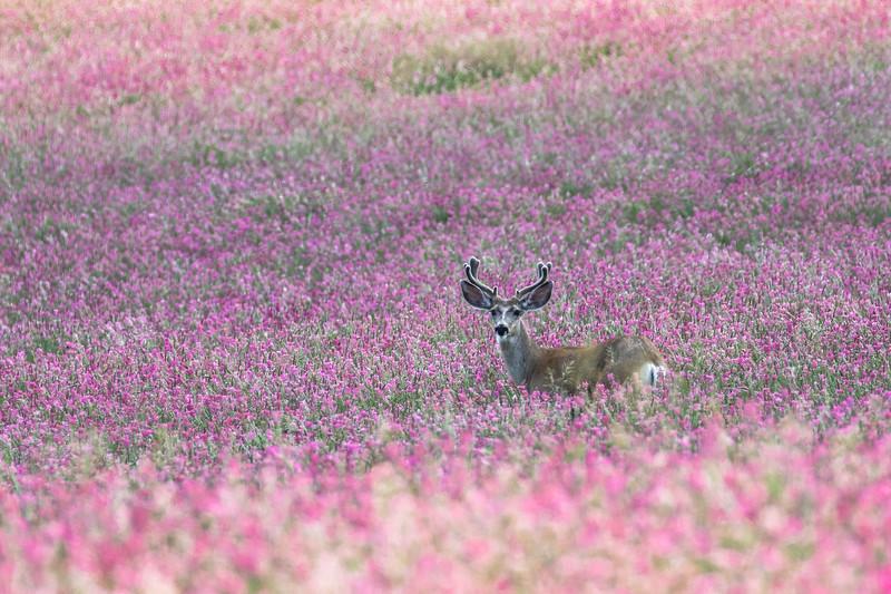 Mule deer, Odocoileus hemionus, buck near Claresholm, Alberta, Canada.