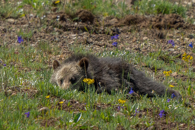 Napping (grizzly) cub