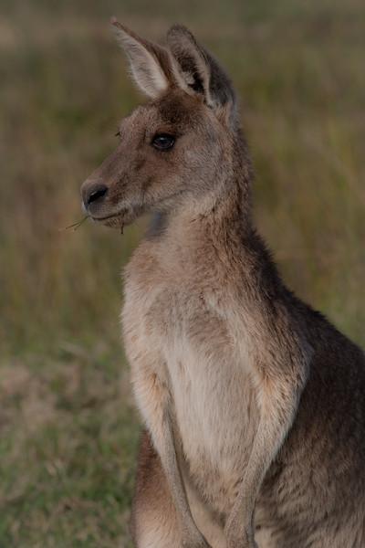 Eastern grey kangaroo juvenile