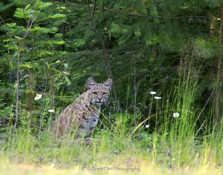 DF.299 - bobcat, Bonner County, ID.