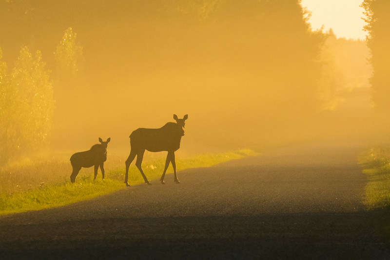Cow and calf moose, Alces alces, crossing the road at sunset near Rochester, Alberta, Canada.
