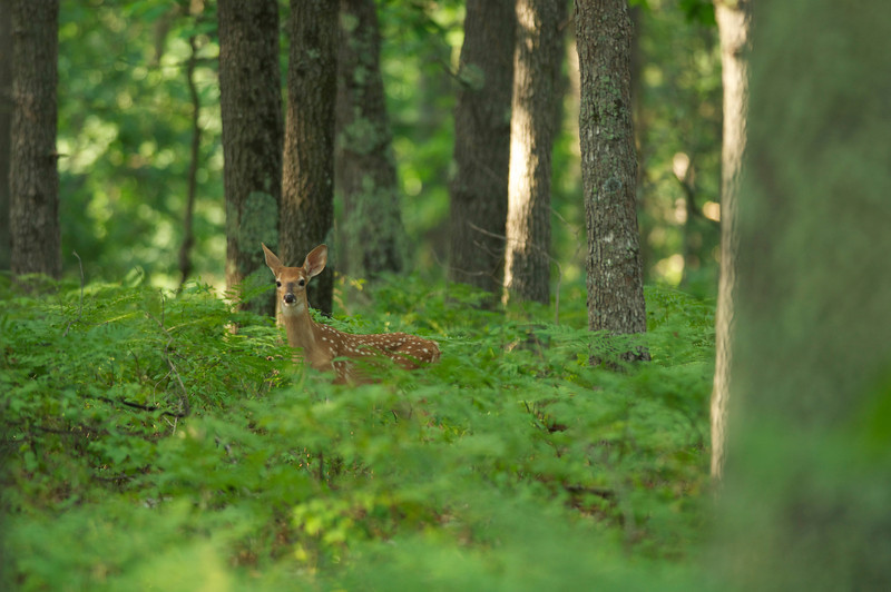 June Fawn