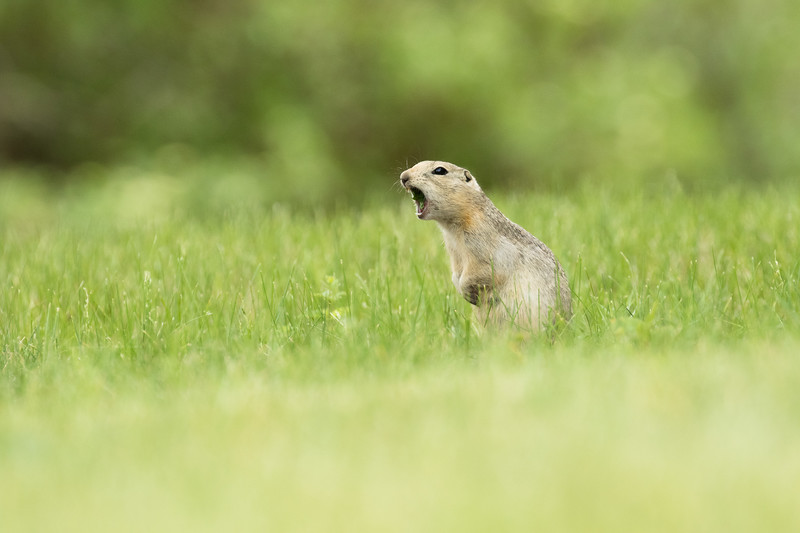 An adult Richardson's ground squirrel, Urocitellus richardsonii, calls to its young at Tillebrook Provincial Park, Alberta, Canada.