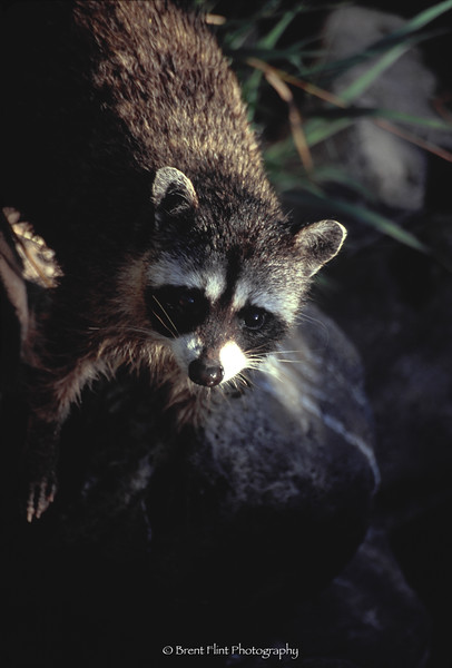 S.4845 - Raccoon, Turnbull National Wildlife Refuge, WA.
