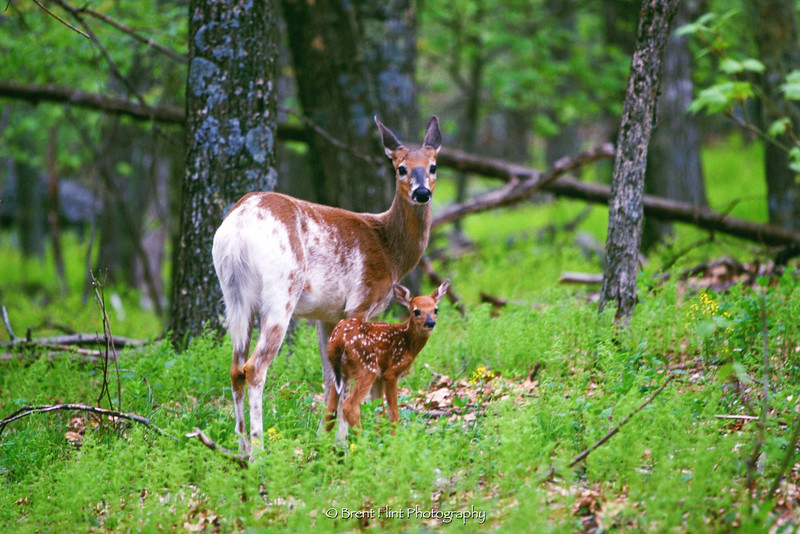 S.3055 - multi-colored whitetail doe and fawn, Shenendoah National Park, VA.