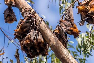 Little Red Flying-foxes, Sunshine Coast