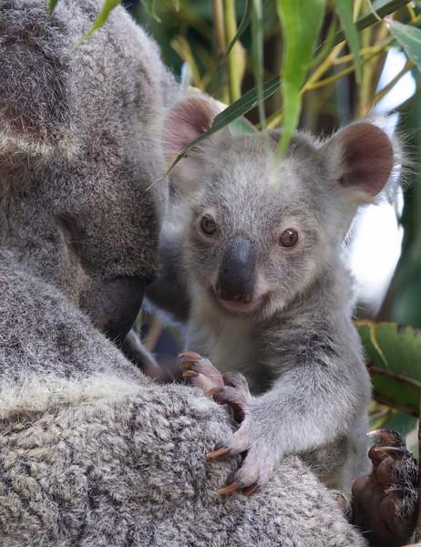 Koala joey, Sunshine Coast, Australia