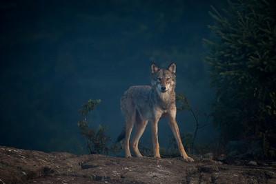 Timber Wolf  BWCA