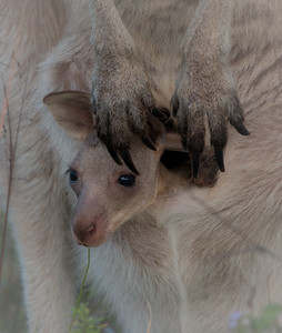 Eastern grey kangaroo joey, Sunshine Coast, Australia