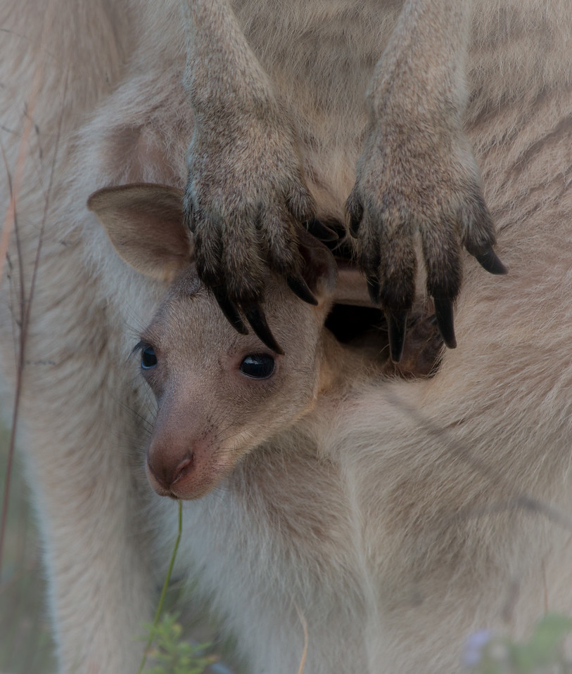 Eastern grey kangaroo joey, Sunshine Coast, Australia