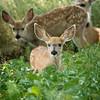Mule deer, Odocoileus hemionus, family near Medicine Hat, Alberta, Canada.
