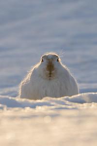 white-tailed_jackrabbit-5-20