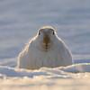 white-tailed_jackrabbit-5-1