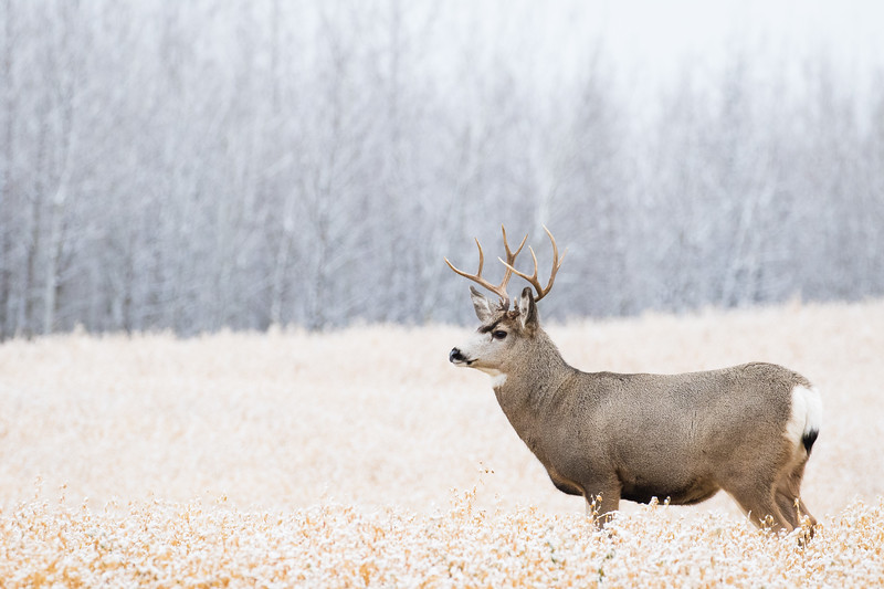 Mule deer, Odocoileus hemionus, buck near Wabamun Lake, Alberta, Canada.