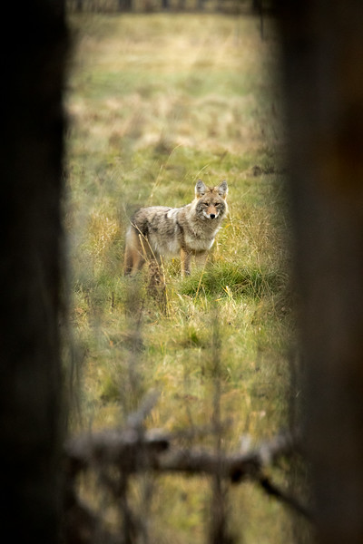 Coyote, Canis latrans, framed by trees near Westlock, Alberta, Canada.