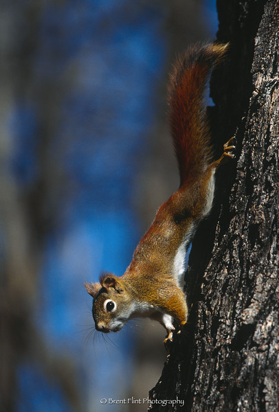 S.3744 - red squirrel, Itasca County, MN.