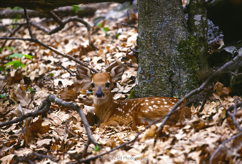 S.3056 - whitetail fawn, Shenandoah National Park, VA.