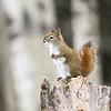 American red squirrel, Tamiasciurus hudsonicus, near Westlock, Alberta, Canada.