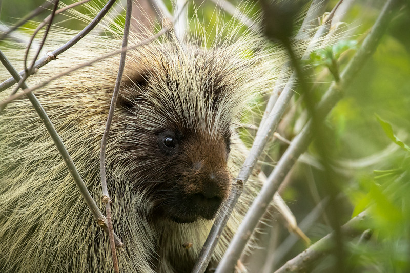 North American porcupine, Erethizon dorsatum, close-up in St. Albert, Alberta, Canada.