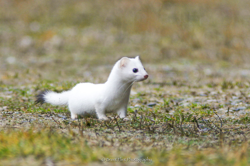 DF.1313 - ermine (short-tailed weasel) in winter coat, Bonner County, ID.