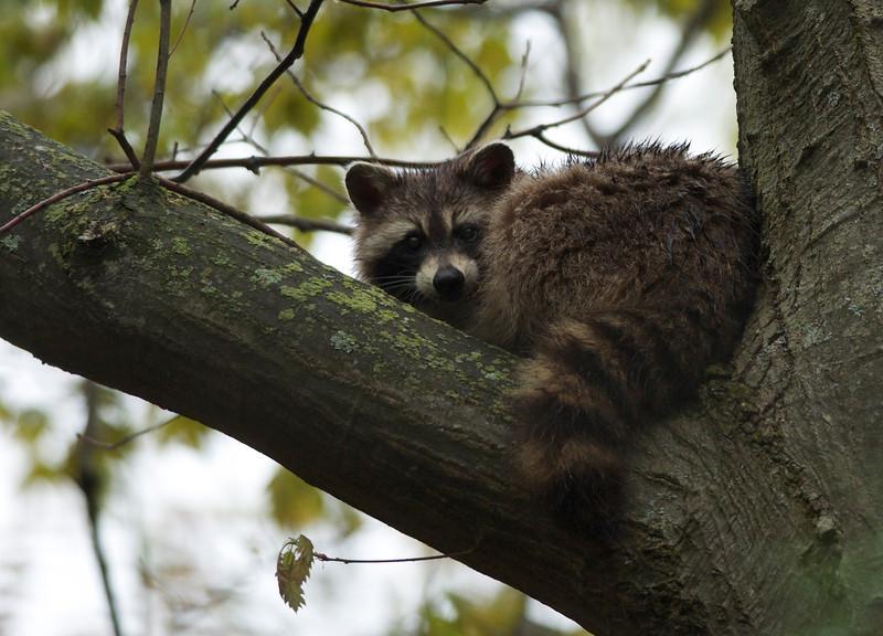 Blind Raccoon
