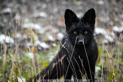 Yukon Fox Pup