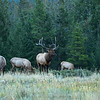 Elk, Cervus canadensis,  stag and harem in Jasper National Park, Alberta.