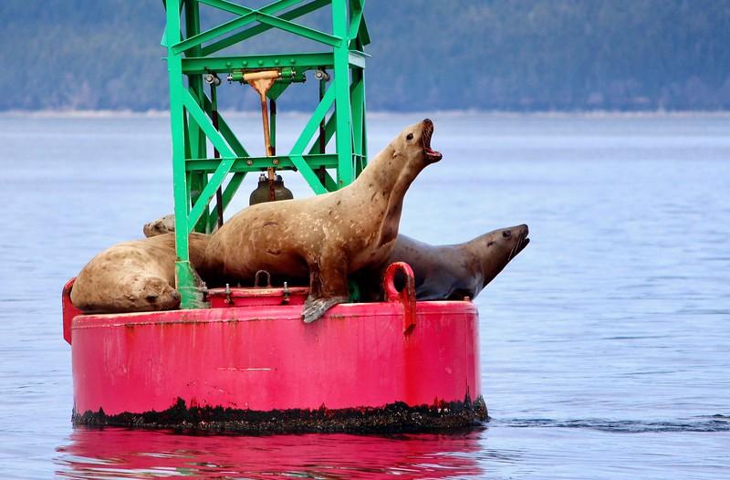Stellar sea lions, Alaska