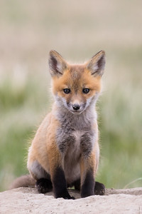 Red fox, Vulpes vulpes, kit near Fort MacLeod, Alberta, Canada.