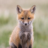 red_fox-43-8