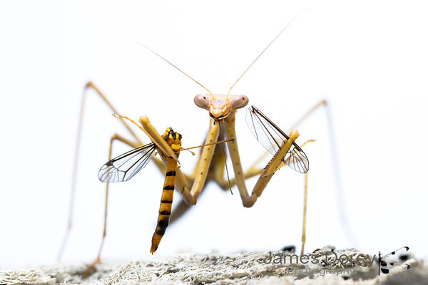 Large Brown Mantid (Archimantis latistyla) eating a Tiger Crane Fly (Nephrotoma australasiae)