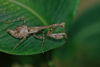 Mantis, Costa Rica
