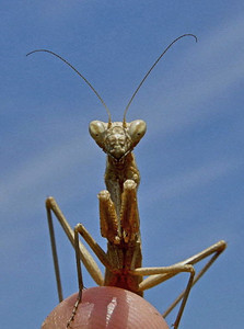 Mantis, Camargue, France