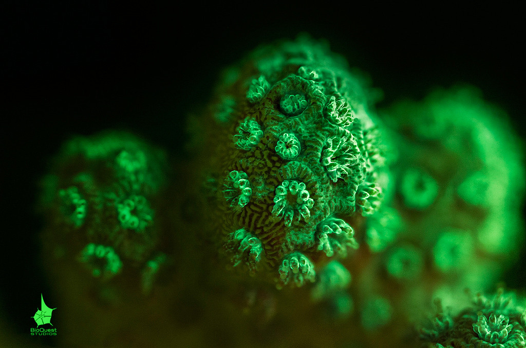 Pocillopora sp. emitting green fluorescence. This coral might be sick. The lower part of the coral has more red colors as the symbiotic algae didn't leave the polyps. The top part, however, shows signs of what looks like disease. However, these green patches are invisible without fluorescent imaging. In the middle of the photo you can actually see that the right part looks less healthy than the right one: the green patch is more noticeable and red colors are nearly absent.