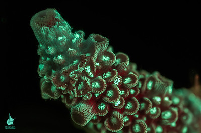 Coral (Acropora sp.) fluorescence. The image is a depth of field stack. Part of this image is available in 3d. Side-by-side stereo image for those who are comfortable with eye-crossing.
