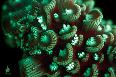 Hard coral (Acropora sp.)fluorescence. Although it looks like it's a painted picture, that's how this coral looks up close.The image is a depth of field stack.