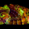 "<p align=""left""> Abalone seashell (<i>Haliotidae</i>) fluorescence </p>"