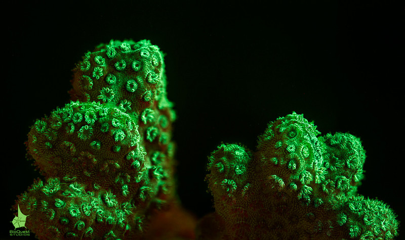 Pocillopora sp.) emitting green fluorescence. It is possibly sick. The lower part of the coral has more red colors as the symbiotic algae didn't leave the polyps. The top part, however, shows signs of disease that are invisible without fluorescence. The green patterns might be natural, though.