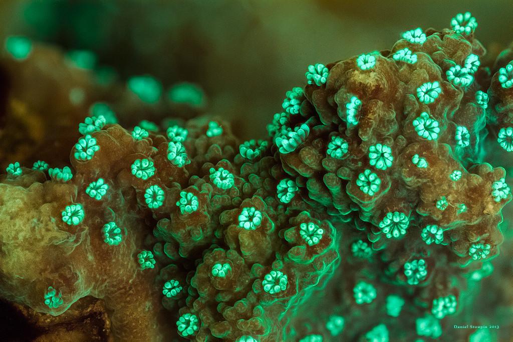 Hard coral fluorescence.