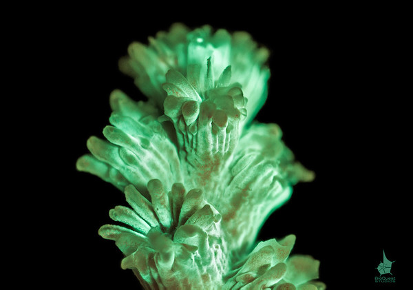Coral (Acropora sp.) fluorescence. The image is a depth of field stack.